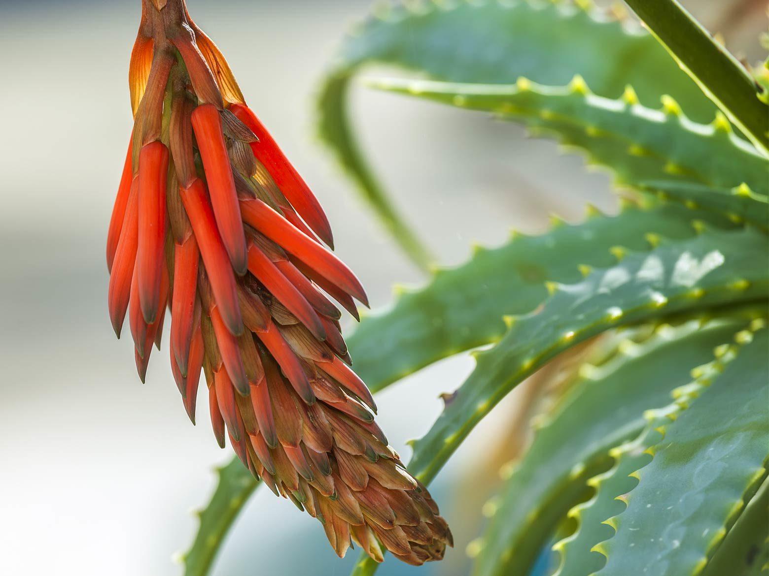 Aloe vera Blüte