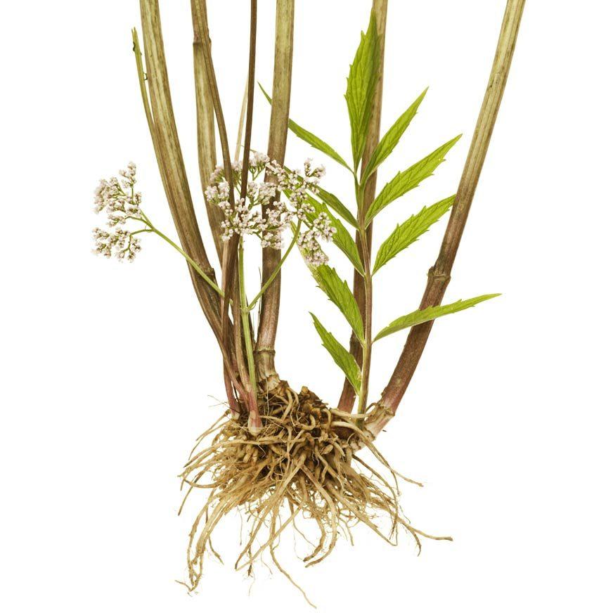 Baldrian Heilpflanze