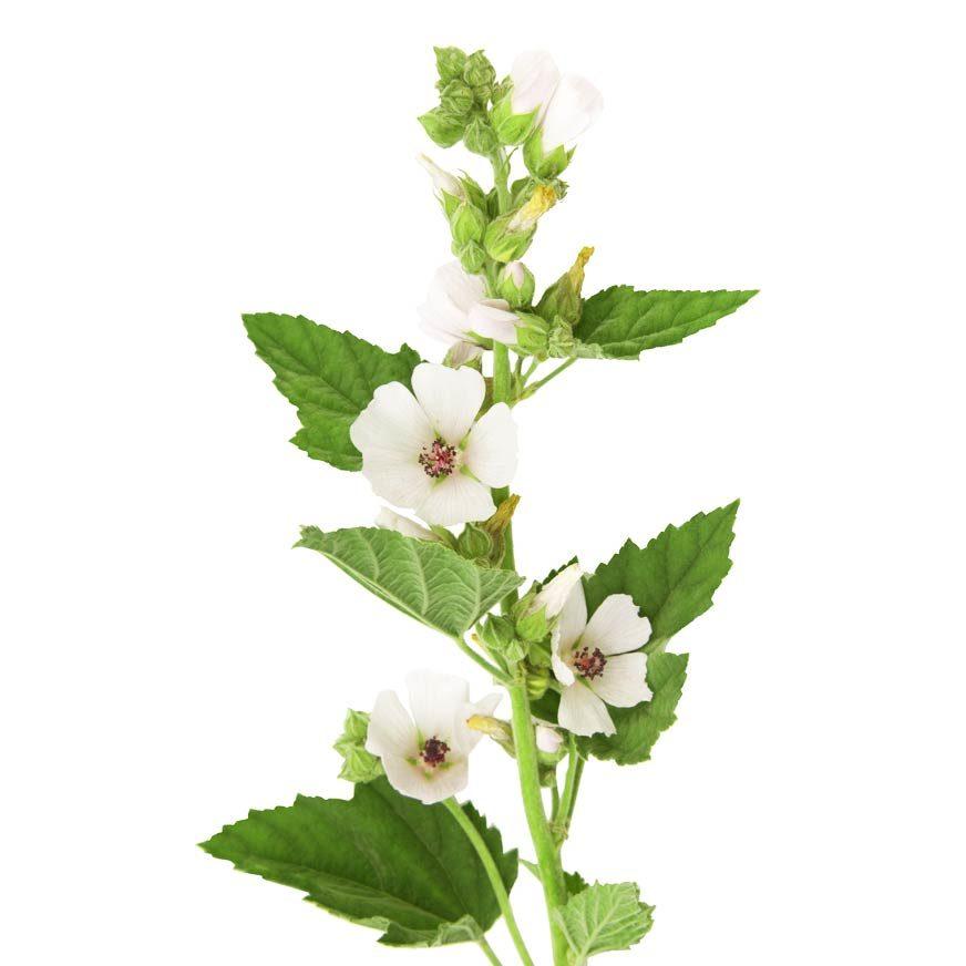 Eibisch Heilpflanze
