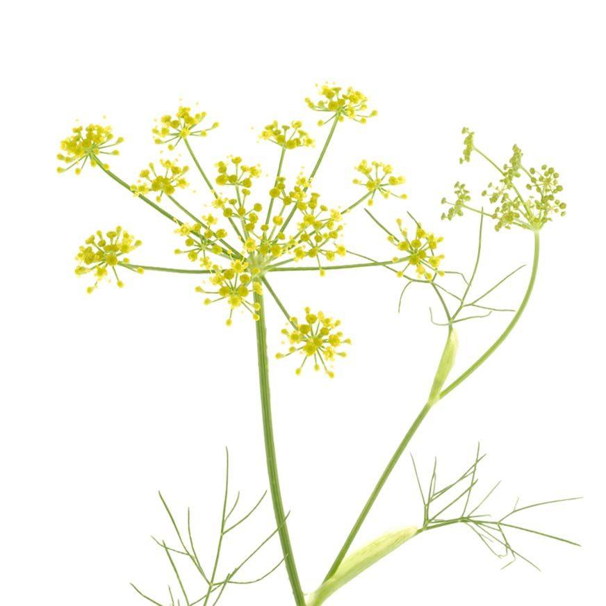 Fenchel Heilpflanze