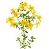 Johanniskraut Heilpflanze