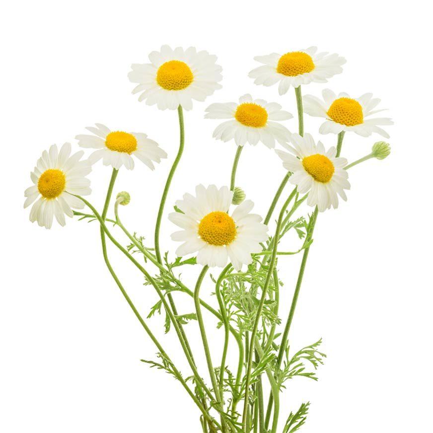 Kamille Heilpflanze