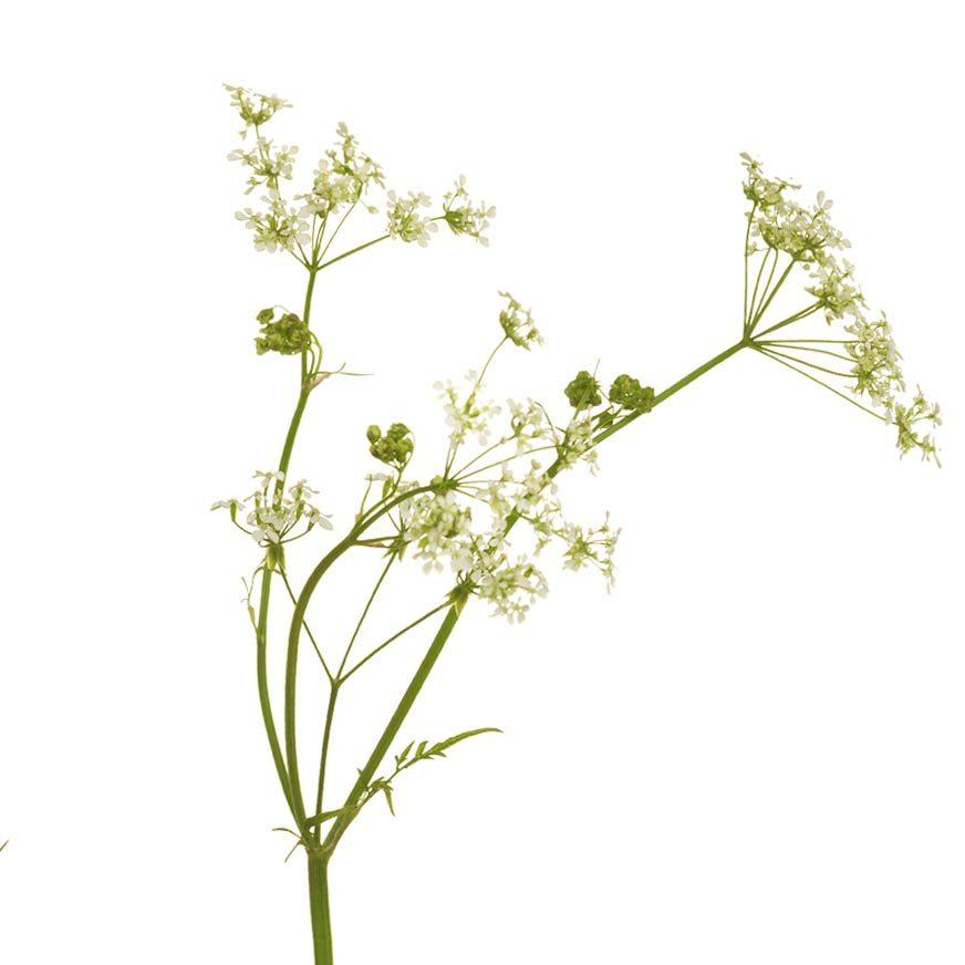 Kümmel Heilpflanze