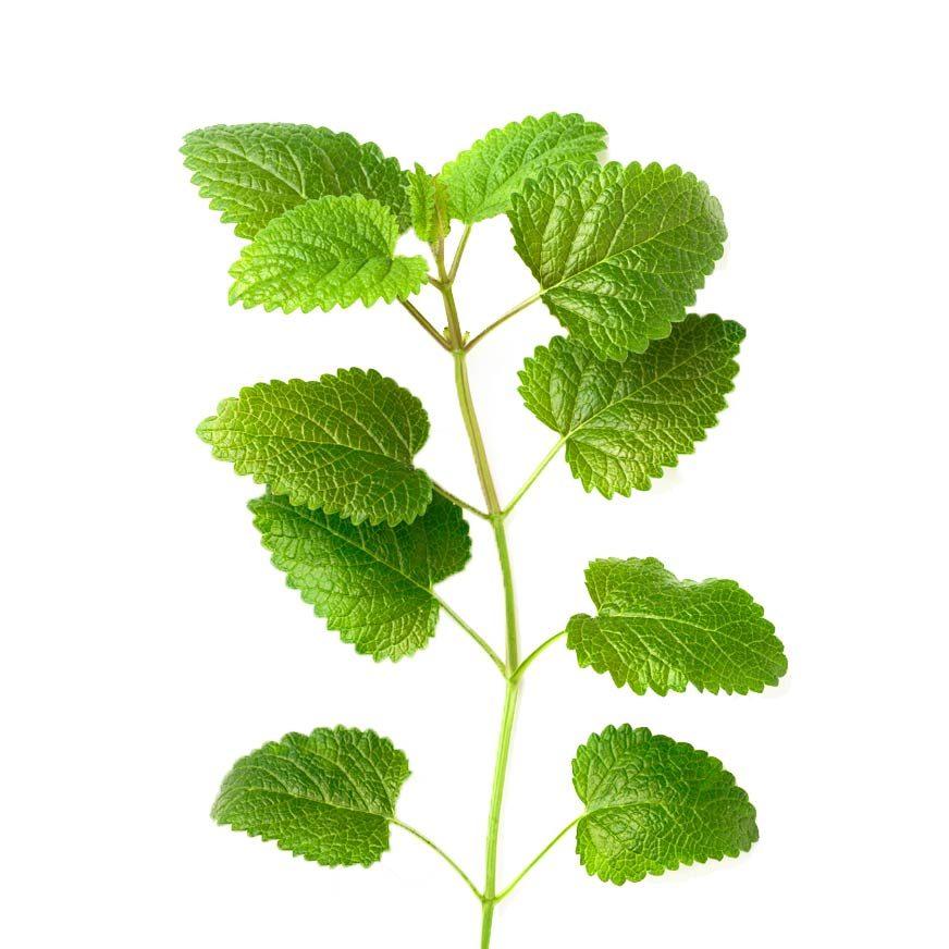 Melisse Heilpflanze