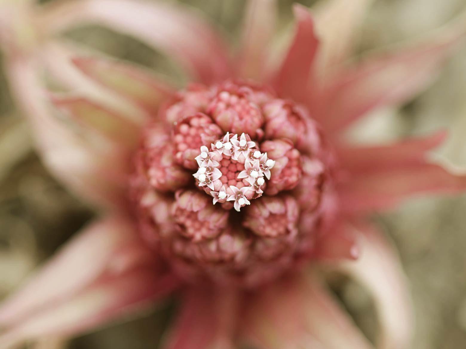 Pestwurz Blüte