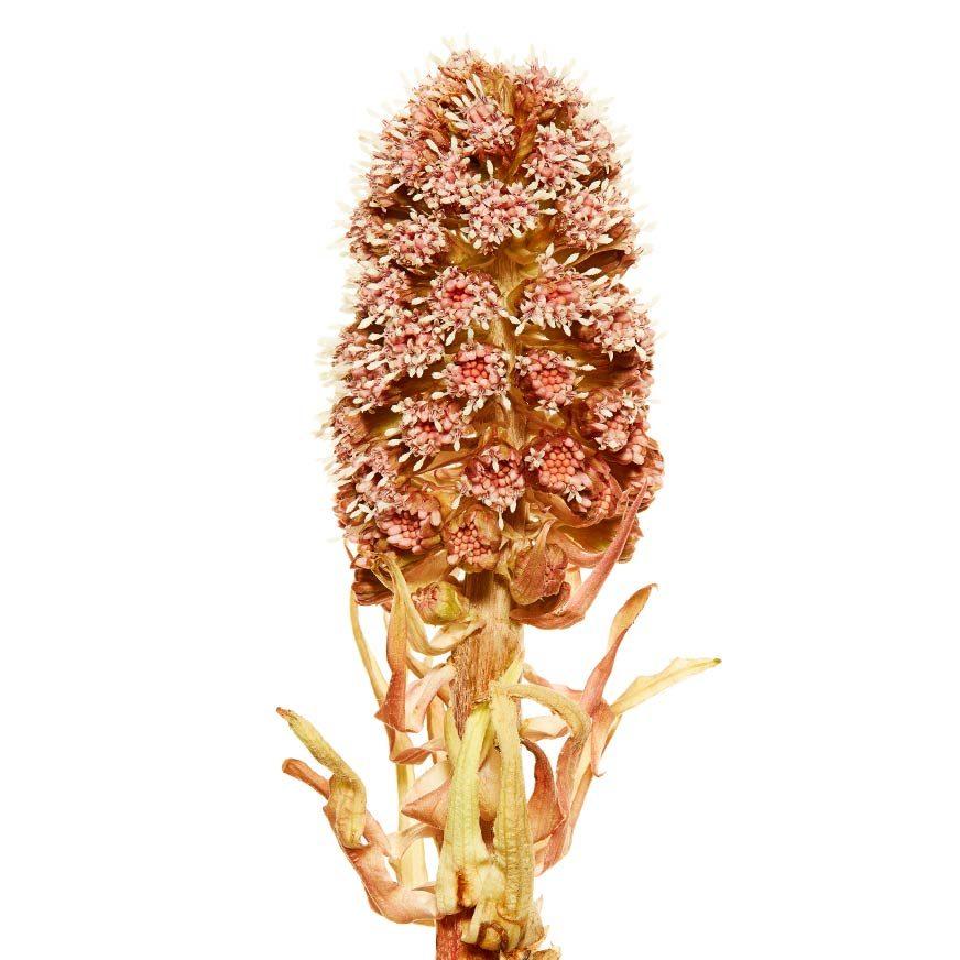 Pestwurz Heilpflanze