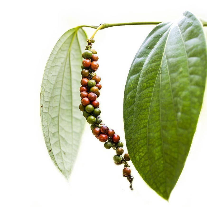 Pfeffer Heilpflanze