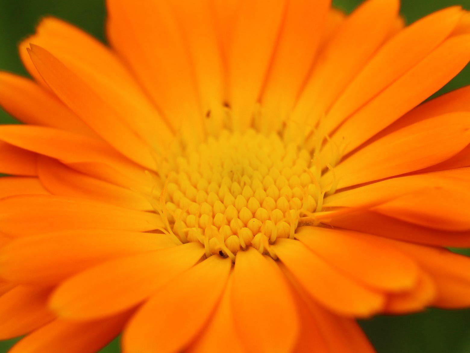 Ringelblume Blüte