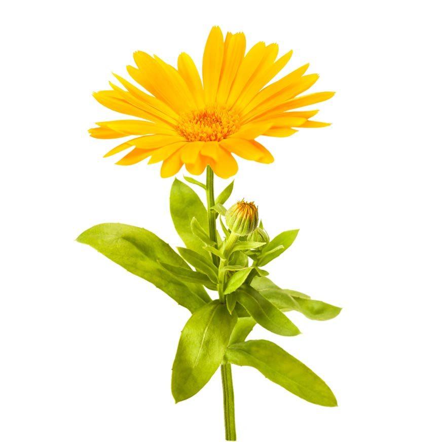 Ringelblume Heilpflanze
