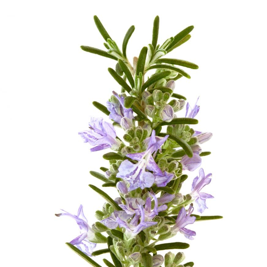 Rosmarin Heilpflanze
