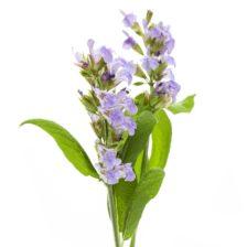 Salbei Heilpflanze