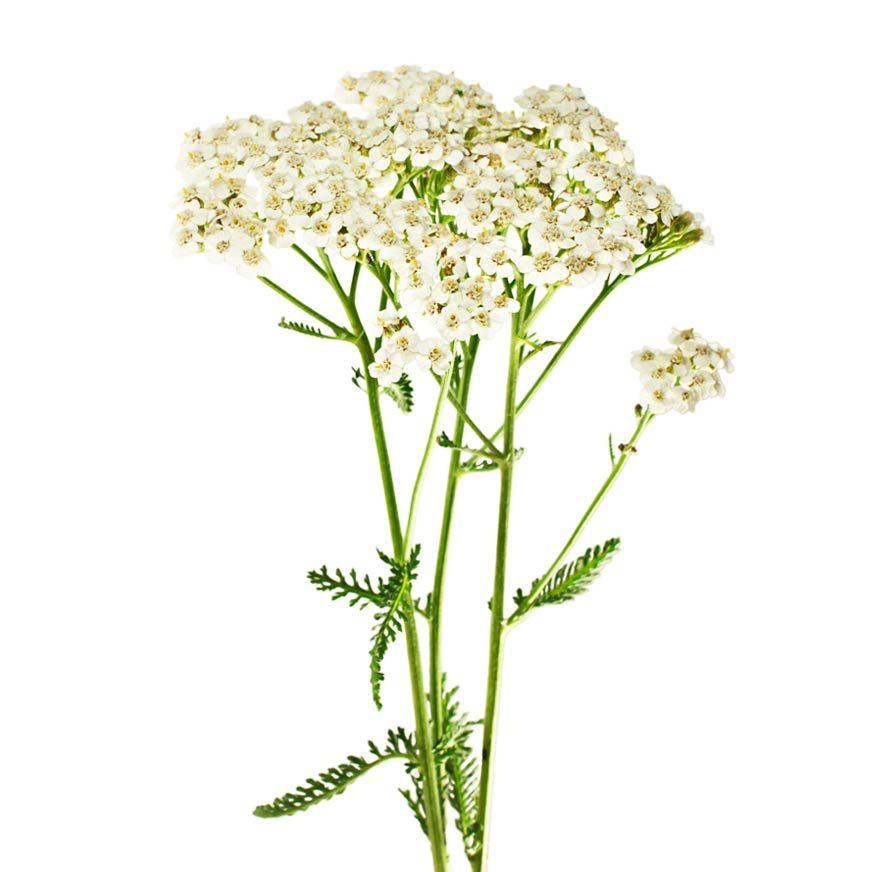 Schafgarbe Heilpflanze