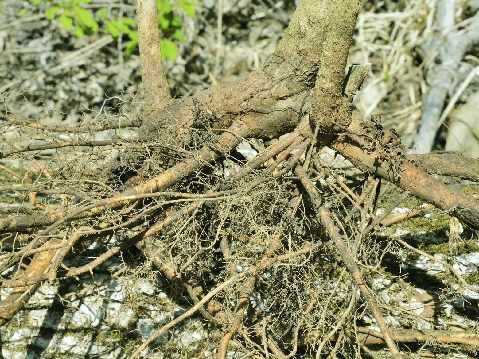 Sibirischer Ginseng Wurzel